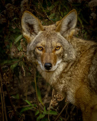 Photograph - The Coyote 3 by Ernie Echols