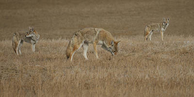 Photograph - The Coyotes by Ernie Echols