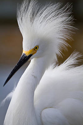 Egret Photograph - The Crest Of A Snowy Egret by Andres Leon