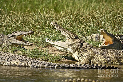 Reptile Photograph - The Crocodile Bar by Liz Leyden