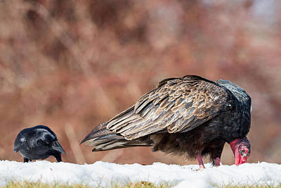 Vulture Photograph - The Crow And Vulture by Bill Wakeley