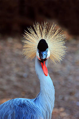 Photograph - The Crowned Crane by Trina  Ansel