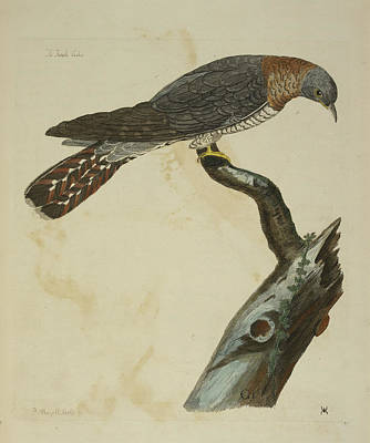 Cuckoo Photograph - The Cuckoo by British Library