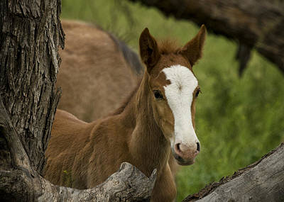 Photograph - The Curious Colt  by Saija  Lehtonen