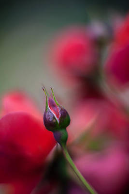 Roses Royalty-Free and Rights-Managed Images - The Curve and the Tip by Mike Reid