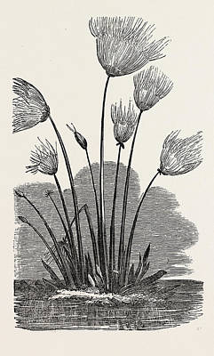 Papyrus Drawing - The Cyperus Papyrus by Peruvian School