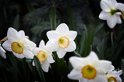 Photograph - The Daffodil Bloom by Thanh Tran