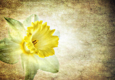 Photograph - The Daffodil by Meirion Matthias