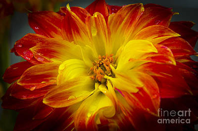 Photograph - The Dahlia's Drama by MaryJane Armstrong