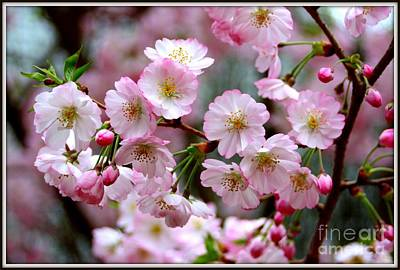 The Delicate Cherry Blossoms Art Print by Patti Whitten