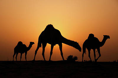 Camel Wall Art - Photograph - The Desert Ship by Ahmed Al-ibrahim