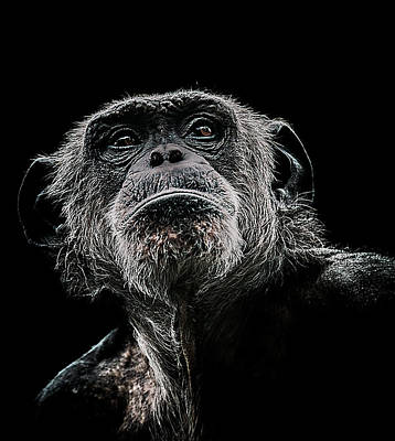 Chimpanzee Photograph - The Dictator by Paul Neville