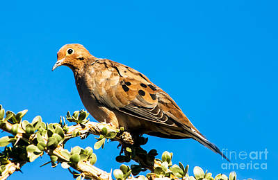 Morning Dove Photograph - The Dove by Robert Bales