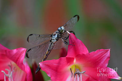 Photograph - The Dragonfly by Kathy Baccari