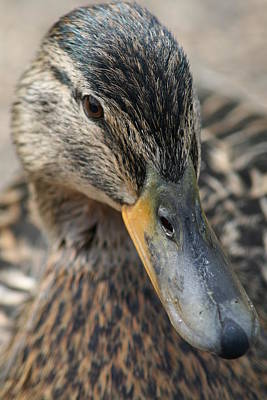 Photograph - The Duck by Paula Guy