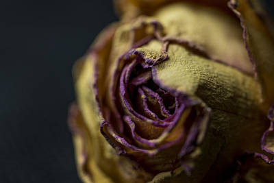 Photograph - The Dying Rose by David Haskett