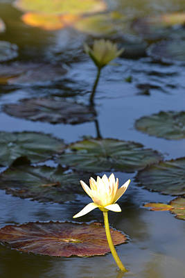 The Echo Of A Lotus Flower Art Print