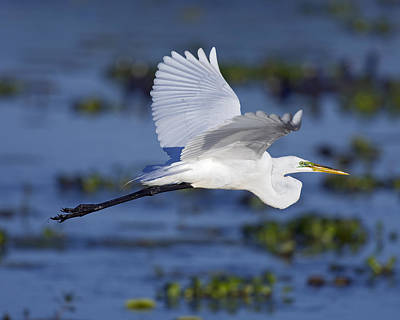 Just Desserts - The Elegant Great Egret in Flight by Gary Langley