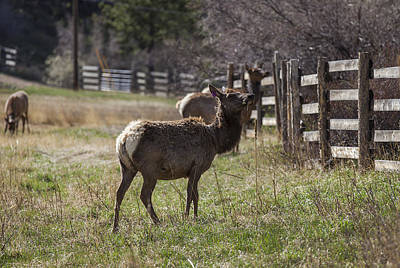 Photograph - The Elk In Town by Amber Kresge