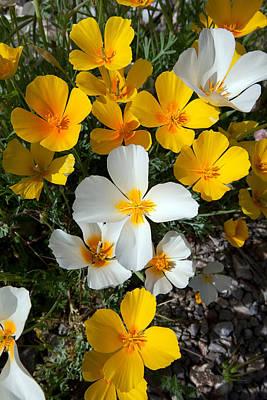 Tucson Photograph - The Elusive White Poppy by Susan  Degginger