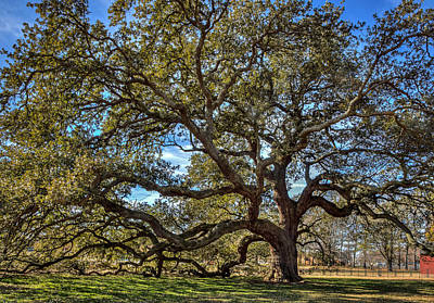 The Emancipation Oak Tree At Hu Art Print