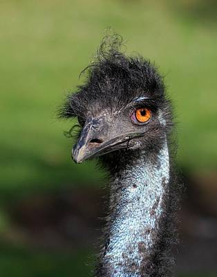 Photograph - The Emu by Davandra Cribbie