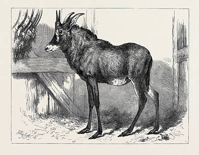 Antelope Drawing - The Equine Antelope Of Nubia In The Gardens by English School