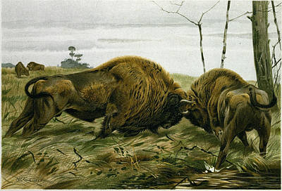 Bison Drawing - The European Bison by English School