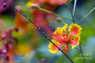 Gulmohar Photograph - The Exotic Gulmohar by Ted Guhl