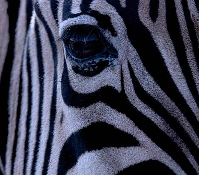 Photograph - The Eye Of The Zebra by Eric Tressler