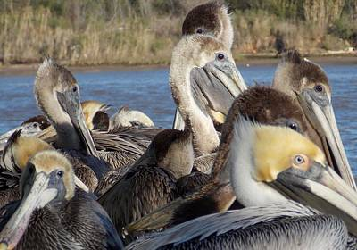 Photograph - The Eyes Have It      Brown Pelicans Of Louisiana by John Glass