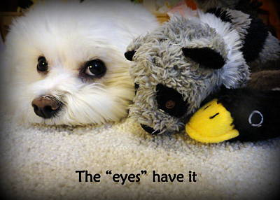 Toy Maltese Photograph - The Eyes Have It by Mary Beth Landis