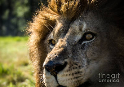 Photograph - The Eyes Of A King by Julie Clements