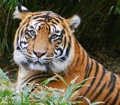The Eyes Of A Sumatran Tiger Art Print