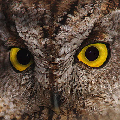 Screech Owl Photograph - The Eyes Of Screech Owl by Brian Orlovich