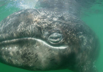 The Face Of A Gray Whale Art Print by Michael Melford