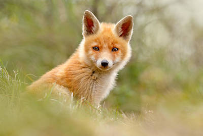 Fox Kit Photograph - The Face Of Innocence _ Red Fox Kit by Roeselien Raimond