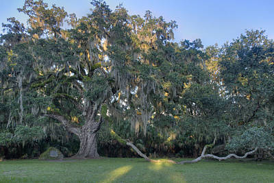 Photograph - The Fairchild Oak by Bradford Martin