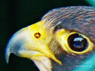 Photograph - The Falcon by Judy Via-Wolff