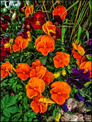 The Fall Pansies Art Print