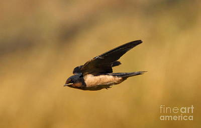 Swallow Photograph - First Swallow Of Spring by Robert Frederick