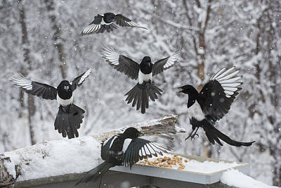 Magpies Photograph - The Feeding Frenzy by Tim Grams