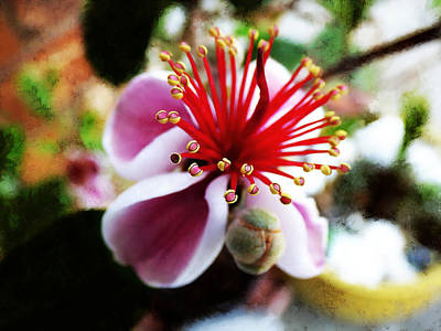 Guava Tree Photograph - the Feijoa Blossom by Steve Taylor