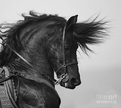 Black Friesian Photograph - The Fiesty Friesian by Carol Walker