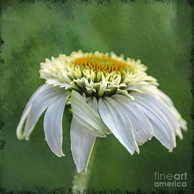 The First Coneflower Art Print by Terry Rowe