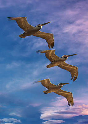 Photograph - The Flight Of The Pelican by OLena Art Brand