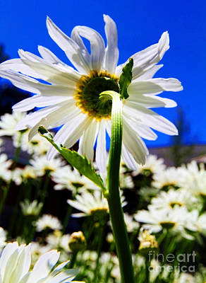 Photograph - The Flip Side Of A Daisy's Life By Diana Sainz by Diana Raquel Sainz