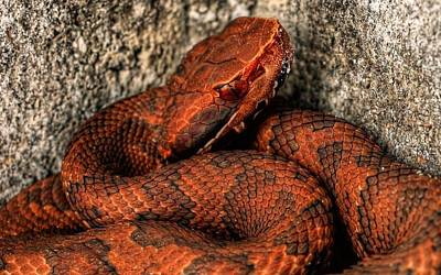 The Florida Cottonmouth Art Print by JC Findley
