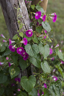 Photograph - The Flowering Vine by Amber Kresge