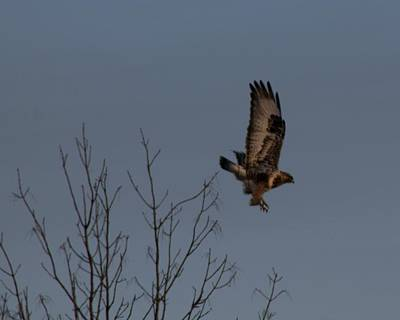 Photograph - The Flying Hawk by Rhonda Humphreys